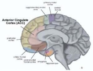 anterior cingulate cortex